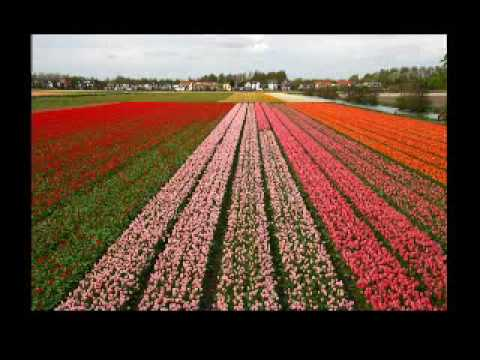 Picture of rows of flowers in a field