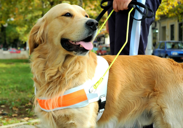Guide Dog wearing a fluorescent orange coat